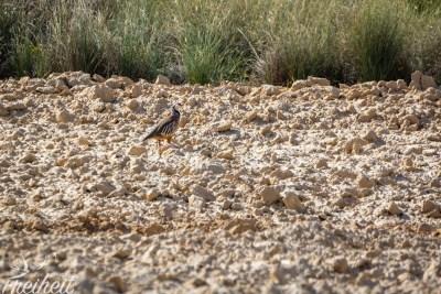 Sehr schüchtener Vogel dieses Rothuhn ;-)