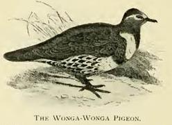 The Wonga-Wonga Pigeon