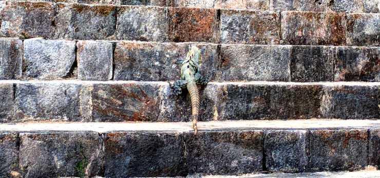 Leguana on steps Birgit Pauli-Haack