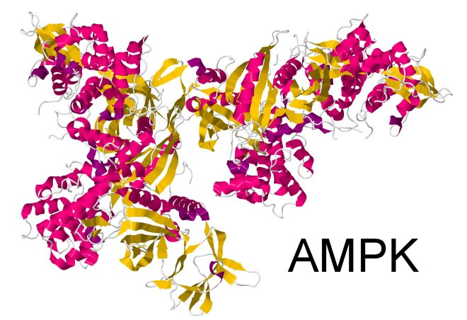 Intermittent fasting affects AMP Kinase
