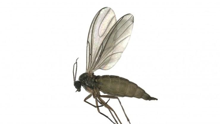 fungus gnats in wichita