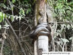 Masakanari - Gunns Village - Baby Anaconda