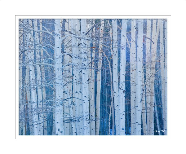 Aspens, Filtered Winter Light