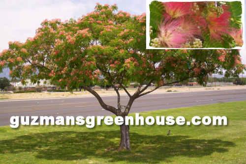 Shade trees for the Desert Southwest