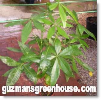 Care of Money Tree Plant