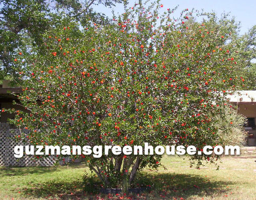Pomegranate Tree Southwest - fruit tree at GuzmansGreenhouse.com on orange tree garden, peach tree garden, apple tree garden, tea tree garden, orchard tree garden, peony tree garden, guava tree garden, rose tree garden, grape tree garden, olive tree garden, fruit tree garden, cherry tree garden, japanese maple tree garden, pine tree garden, white tree garden, pepper tree garden, coconut tree garden, mango tree garden, lilac tree garden, raspberry tree garden,