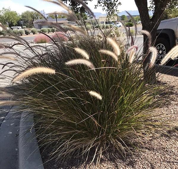 Grasses for the southwest