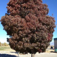 Raywood Ash Fall