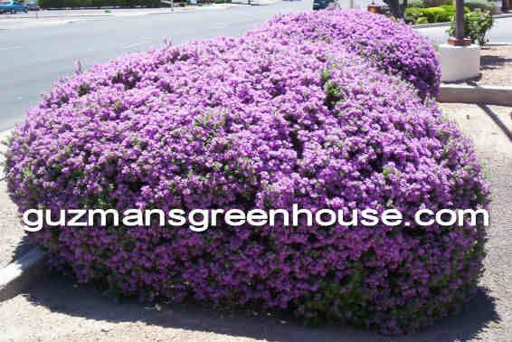 Texas Sage Bushes Xeriscaping Or Southwest