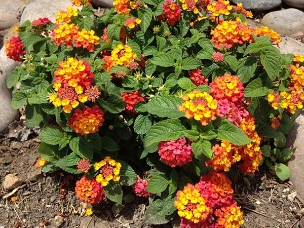Buy Lantana Plants Lantana Plants For Full Hot Summer Sun