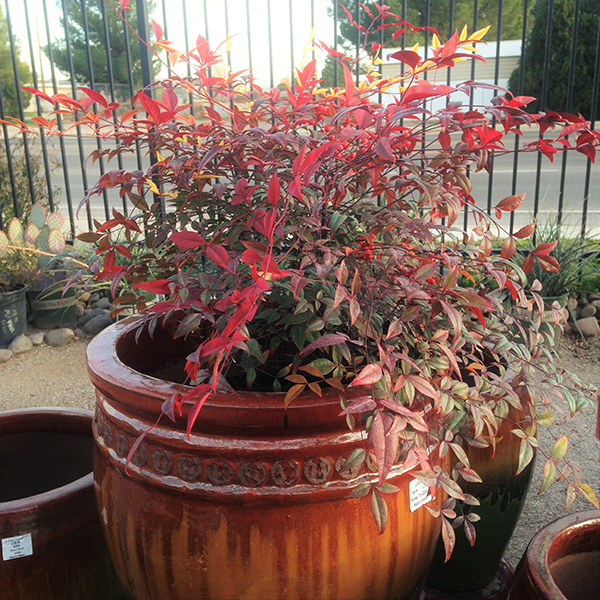 Nandina Plant in Pot