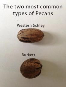 Types of pecan trees