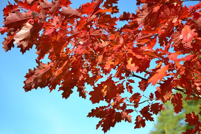 Red Oak Leaves in Southwest