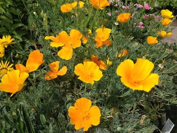 Poppies in the Southwest