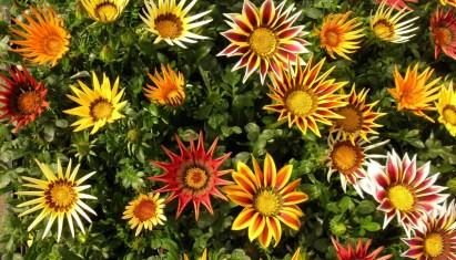 gazania-flowers