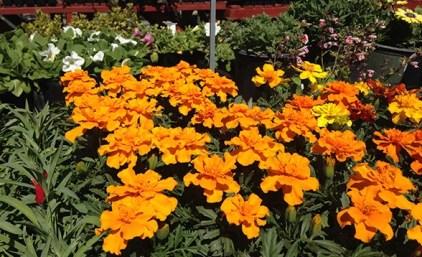 marigolds-orange