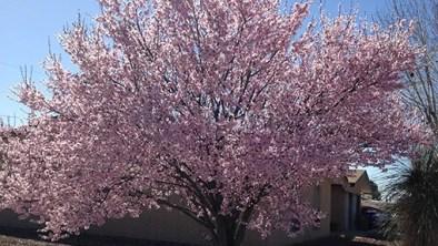 purple-leaf-plum-fullbloom2
