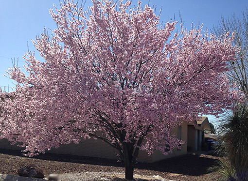 Early Blooming Trees And Plants Guzmansgreenhouse Com Plants