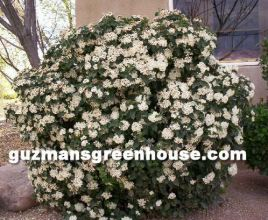 Evergreen Shrubs Pictures