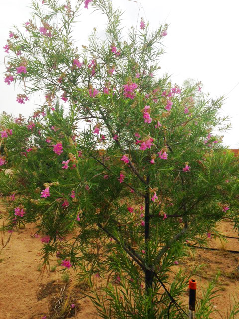 desert-willow-wild