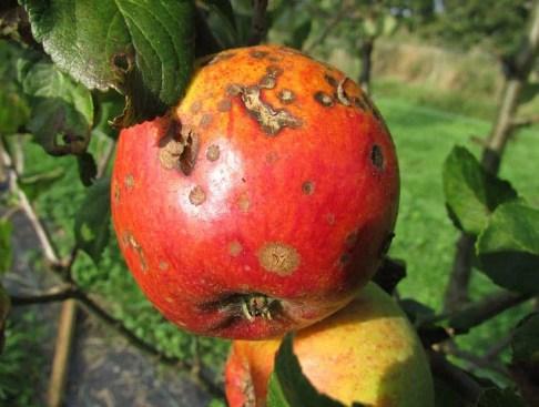 How to grow larger fruit.