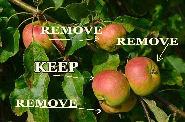 How to grow larger fruit