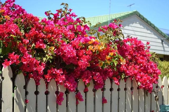 Bougainvillea flowering plant