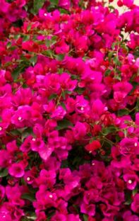 Bougainvillea flowering plant