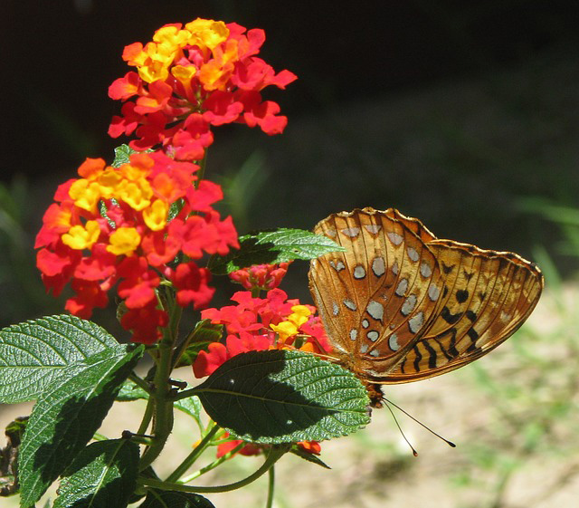 Butterfly on Red Lantana.