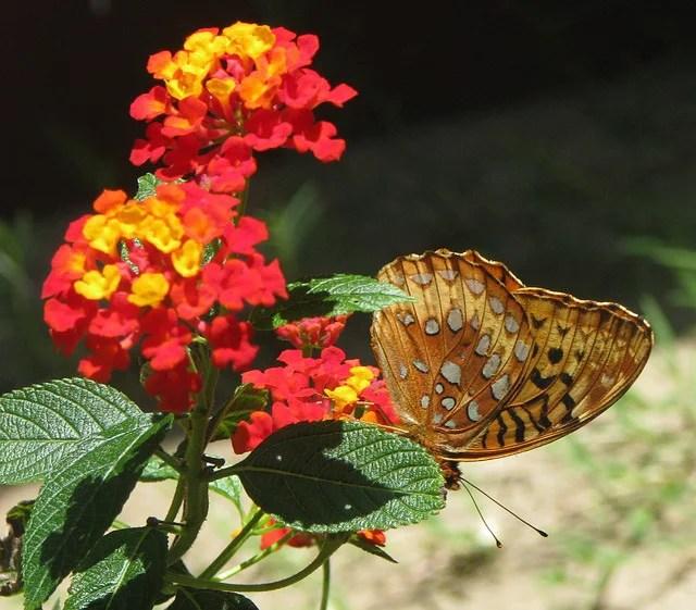 Butterfly on a Lantana plant