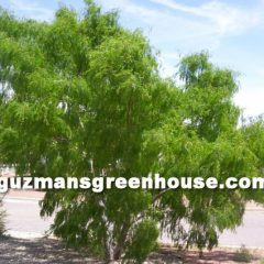 The Mesquite Tree