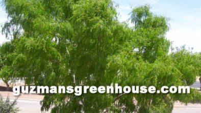 The Mesquite Tree