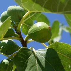 peters-honey-fig