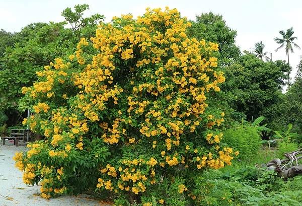 Tecoma Stans Plant