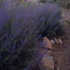 How to grow Russian sage