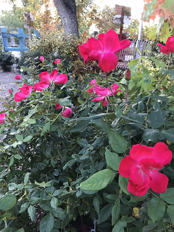 The care of Knock Out Roses