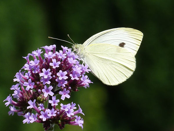 Purple Verbena flower with Butterfly