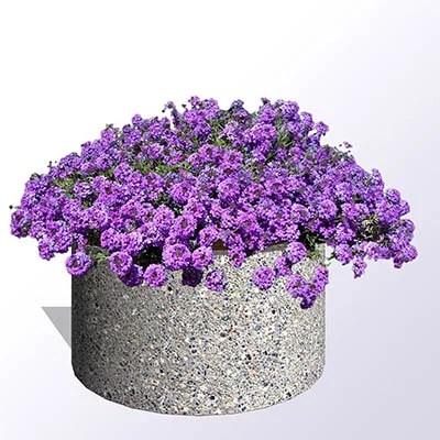 Purple Verbena Plants