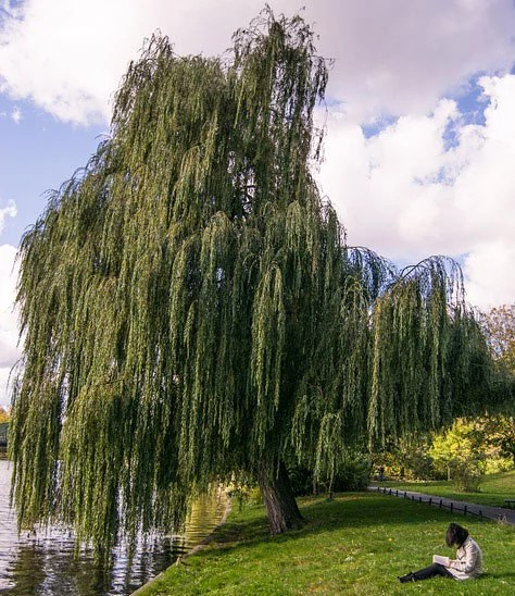 Weeping Willow Landscape