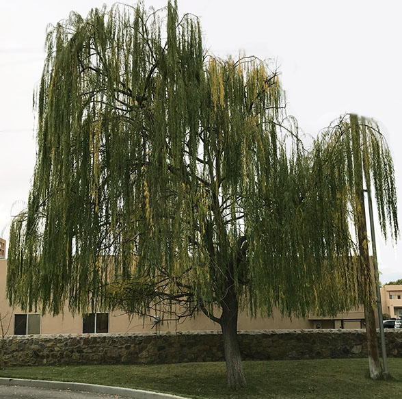 weeping-willow1