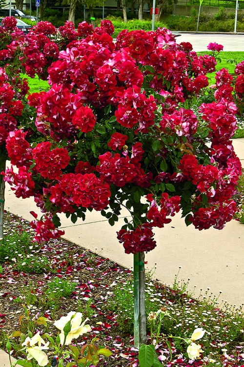 Patio tree roses
