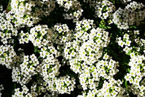 Alysum Plant