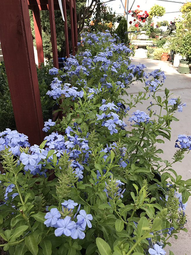 Plumbago Plants In Your Garden For Southwest Guzmans Greenhouse