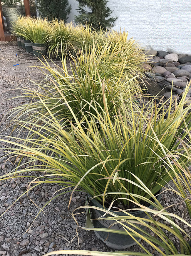 Variegated Sweet Flag Grass