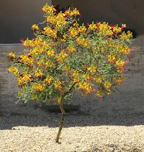 The Yellow Bird of Paradise Plant