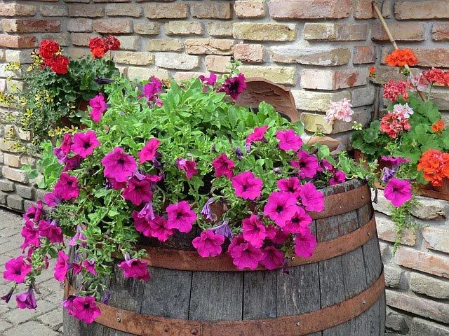 wave-petunias-in-barrel