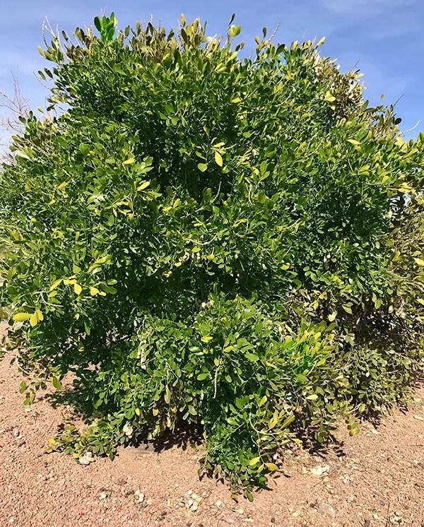 The Texas Mountain Laurel Tree