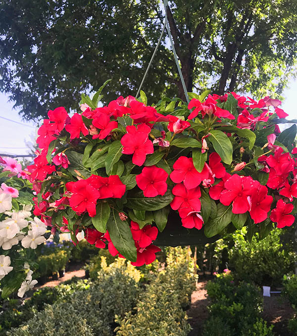 Vinca in Hanging Baskets