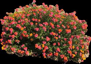 Lantana Camara Xeriscape Plant