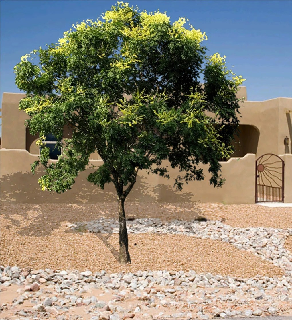 The Gold Rain Tree A Good Shade Tree For The Southwest How To Care
